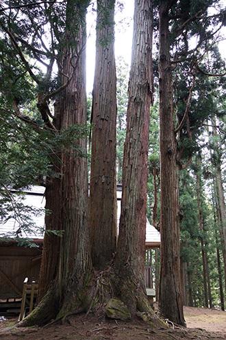 190425高倉神社の大スギ⑤