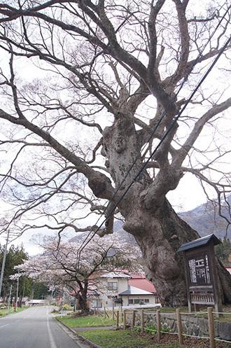 190425下郷 八幡のケヤキ②