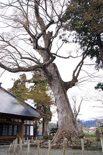 190426下郷町 圓福寺大欅①