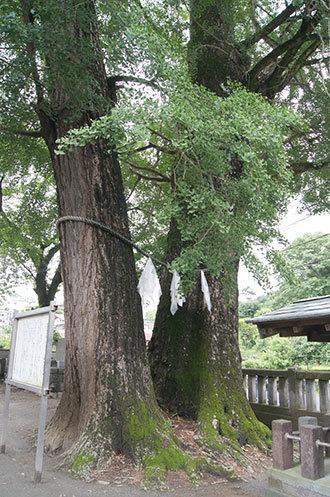 190612室生神社のイチョウ④