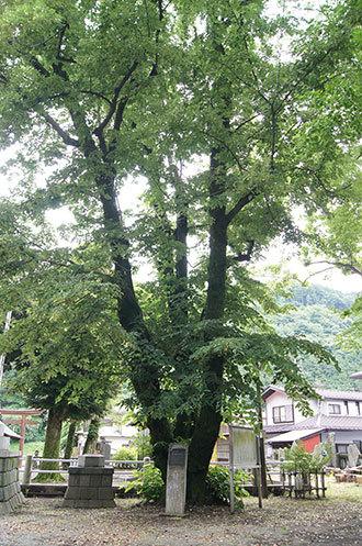 190612室生神社菩提樹①
