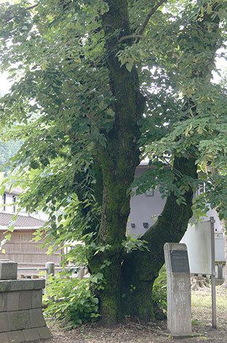 190612室生神社菩提樹②