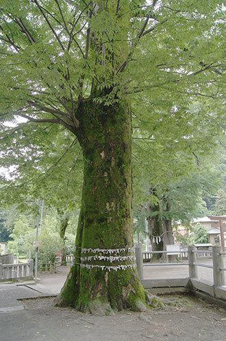 190612室生神社菩提樹⑥