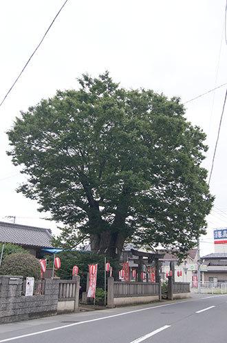 190715鴻巣 三ツ木神社欅①