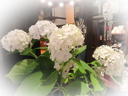 0702紫陽花
