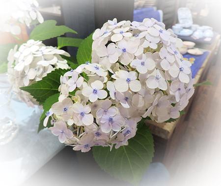 0711紫陽花1