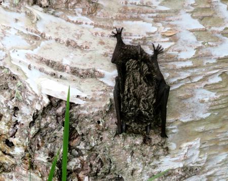 0828蝙蝠もお昼寝