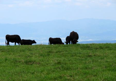 0828牛さんものんびり