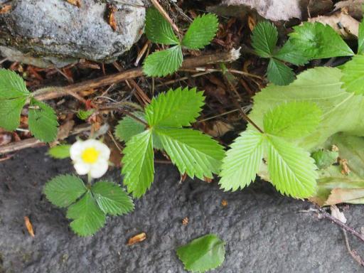 20190623・横谷渓谷植物3・シロバナノヘビイチゴ