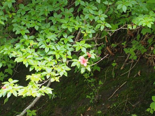 20190623・横谷渓谷植物2・ヤマツツジ