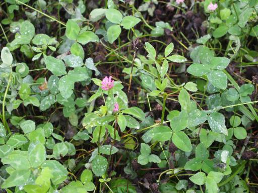 20190705・狭山湖散歩野生植物06・ムラサキツメクサ