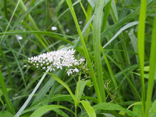 20190705・狭山湖散歩野生植物07・オカトラノオ