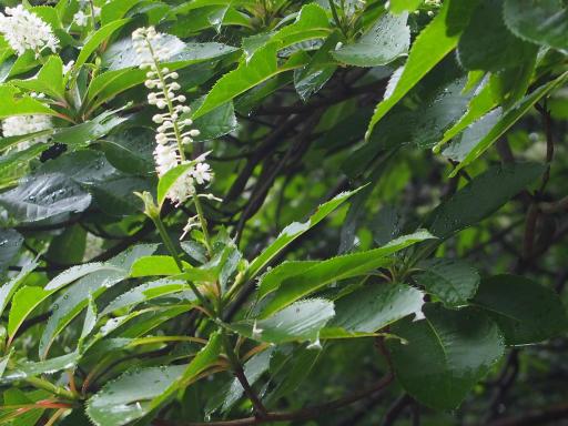 20190705・狭山湖散歩野生植物16・エンジュ