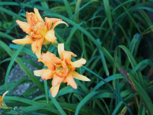 20190705・狭山湖散歩野生植物15・ヤブカンゾウ