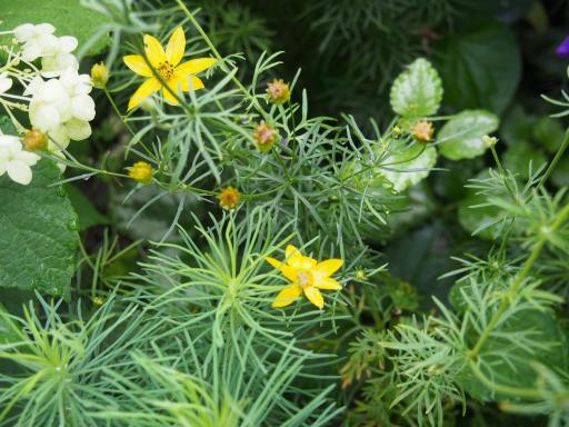 20190705・狭山湖散歩園芸植物06・イトバハルシャギク