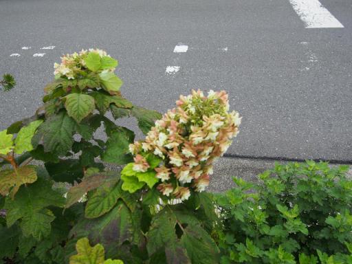 20190705・狭山湖散歩園芸植物12・カシワバアジサイ
