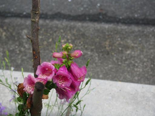 20190705・狭山湖散歩園芸植物11・キツネノテブクロ
