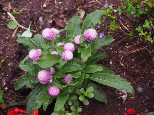20190705・狭山湖散歩園芸植物10・センニチコウ=センニチソウ