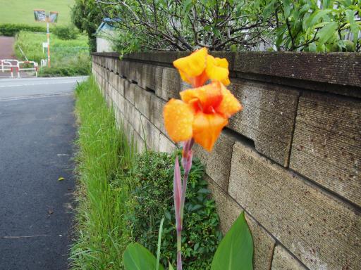 20190705・狭山湖散歩園芸植物18・ドイツアヤメ