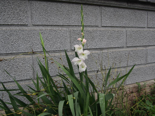 20190705・狭山湖散歩園芸植物16・グラジオラス