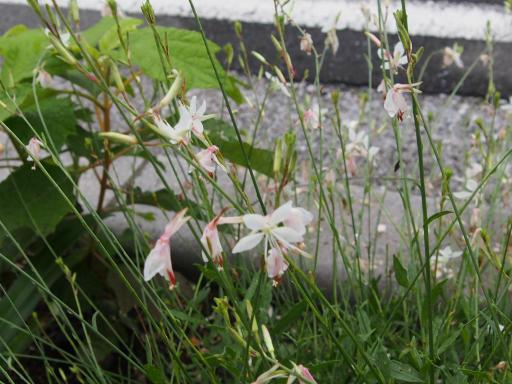 20190705・狭山湖散歩園芸植物13・ラークスパー(ピンク)
