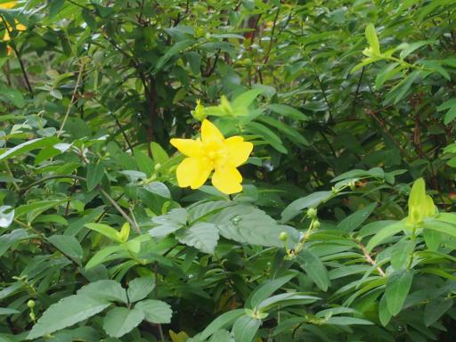 20190705・狭山湖散歩園芸植物23・タイリンキンシバイ