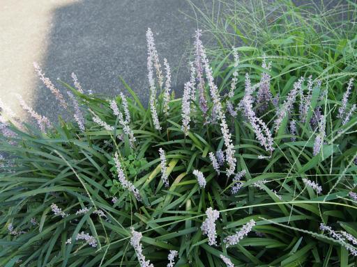 20190804・8月4日散歩植物06・ヤブラン