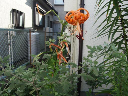 20190804・8月4日散歩植物01・オニユリ