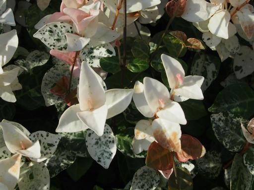 20190804・8月4日散歩植物10・ハツユキカズラ