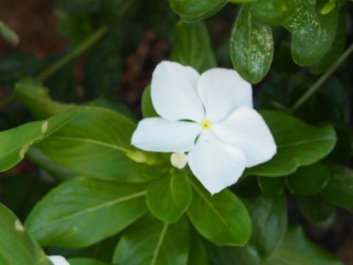 20190804・8月4日散歩植物16・ニチニチソウ(白)
