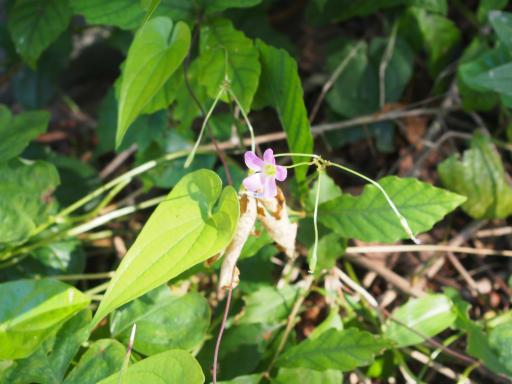 20190804・8月4日散歩植物13・ムラサキカタバミ