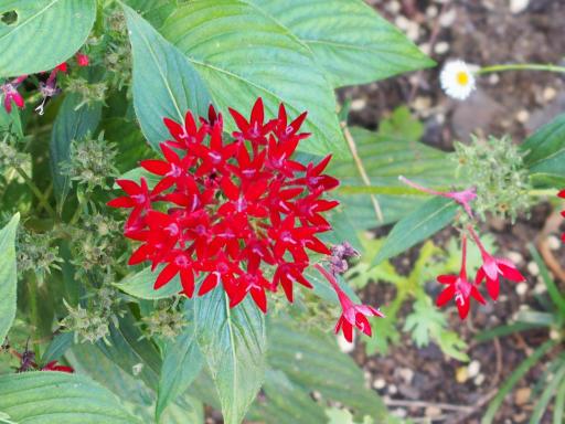 20190804・8月4日散歩植物14・クササンタンカ(紅)