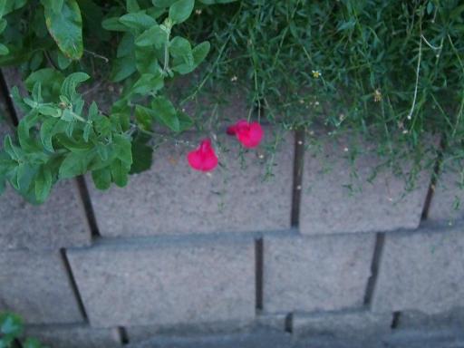 20190812・西武園花火最終日植物06・秋の紅花サルビア