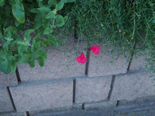 20190812・西武園花火最終日1-18・秋の紅花サルビア