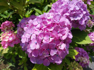 2019年7月紫陽花