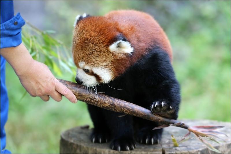 レッサーパンダの砥々丸くんに「タケノコ」をプレゼント