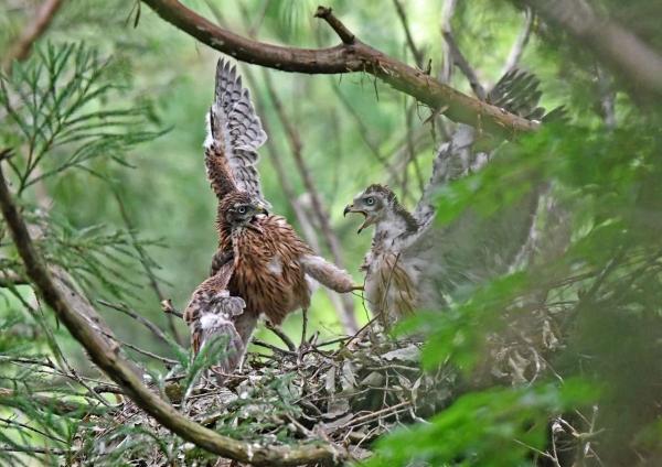 オオタカ幼鳥2 DSN_6913