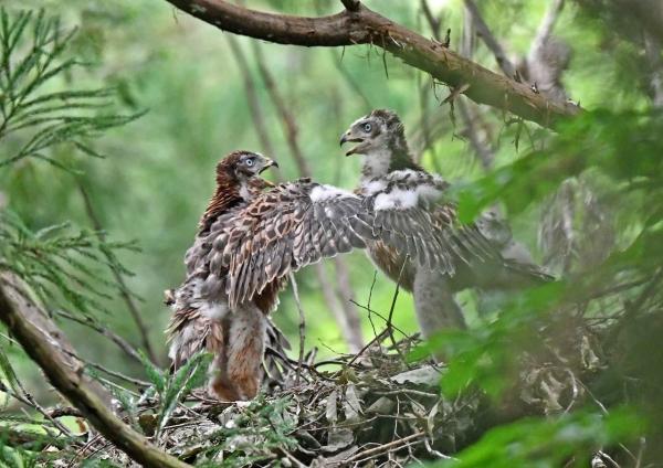 オオタカ幼鳥3 DSN_6941