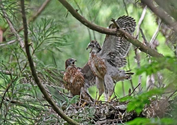 オオタカ幼鳥4 DSN_6990
