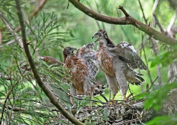 オオタカ幼鳥5月27日 DSN_7006