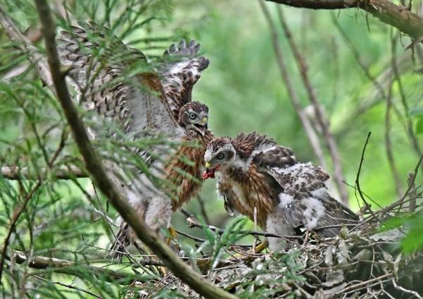 オオタカ幼鳥6 DSN_7052