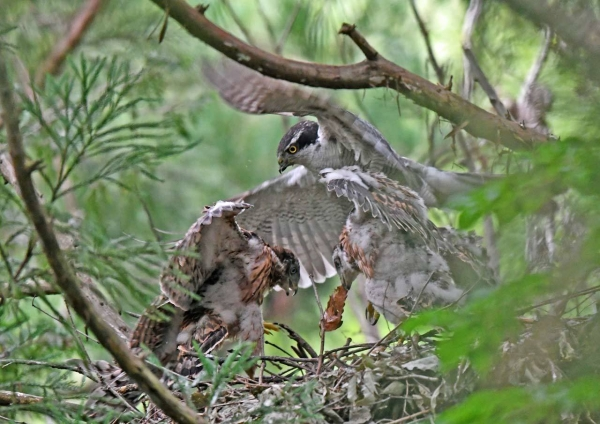 オオタカ幼鳥12 DSN_6851