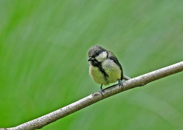 シジュウカラ幼鳥1 DSN_4660
