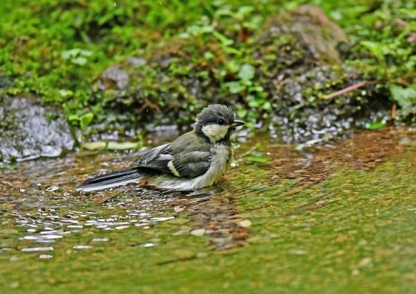 シジュウカラ幼鳥2水浴び DSN_4689