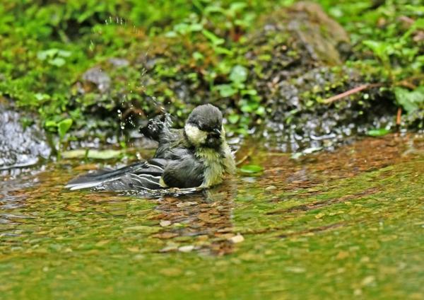 シジュウカラ幼鳥3水浴び DSN_4707