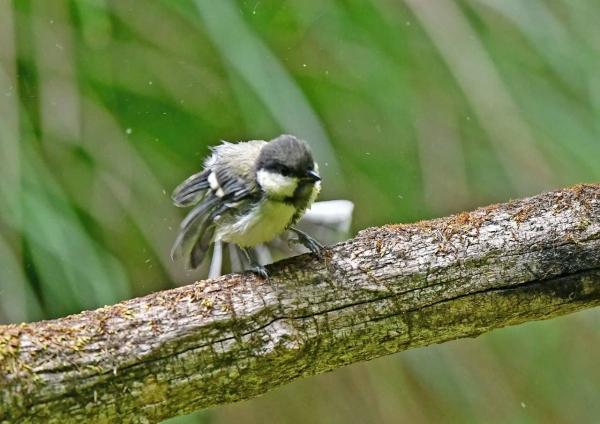 シジュウカラ幼鳥5羽繕い DSN_4650