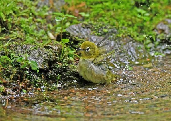 メジロ幼鳥水浴び1 DSN_5877