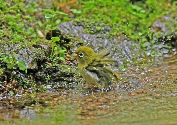 メジロ幼鳥水浴び2 DSN_5873