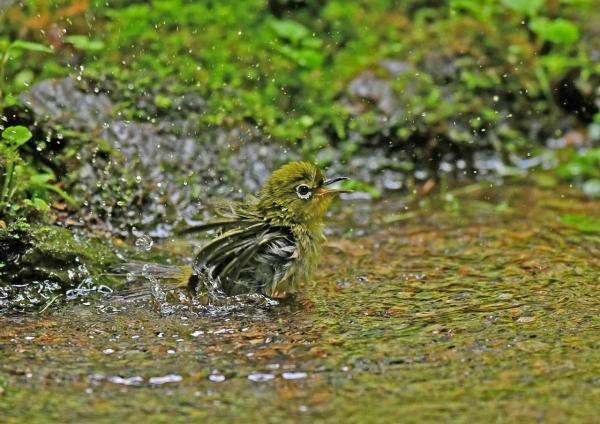 メジロ幼鳥水浴び3 DSN_5711