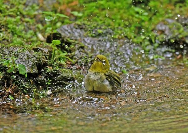 メジロ幼鳥水浴び4 DSN_5880